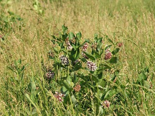 Common Milkweed (Minnesota)