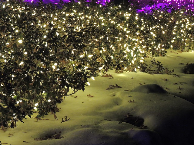 Lights on the Azaleas