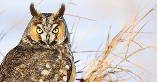 Long-eared Owl #1 (Asio otus) | by timjhopwood