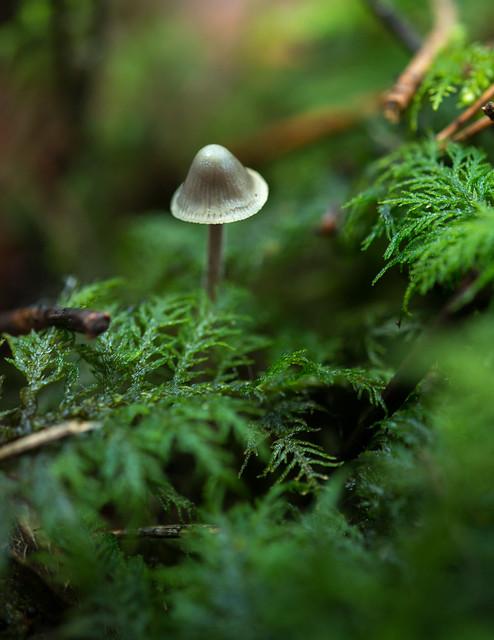 Moss et Mycena - Mousse et mycène