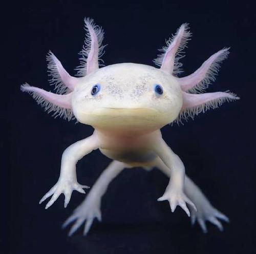 + Axolotl +