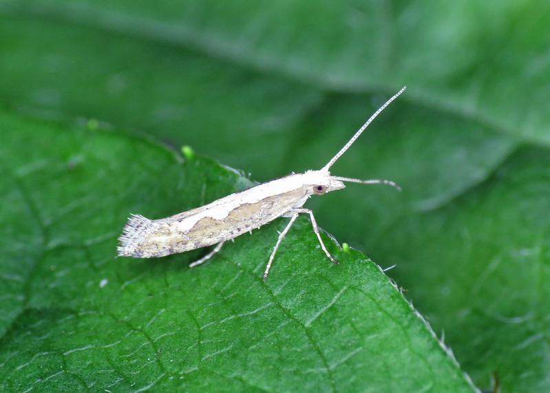 18.001 Diamond-back Moth - Plutella xylostella