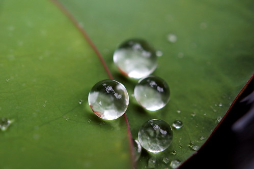 Drops on Lotus | by ai3310X