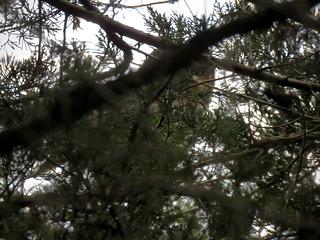 Long-eared Owl (doc shot)   by Justin Lee (NoNameKey)