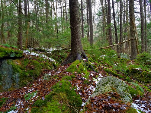 Spruce and moss