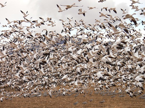 Snow geese | by USFWS Headquarters