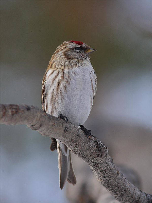 Mealy Redpoll
