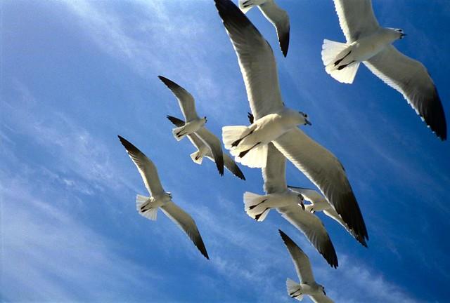 Bahamian Seagulls