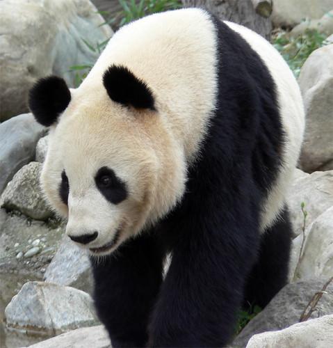 panda | by mozzercork