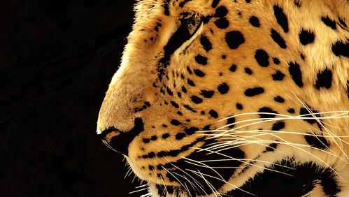 Amur Leopard | by Matt McGee