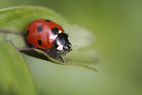 ladybird | by zimpenfish