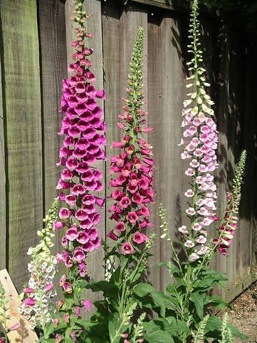 Foxgloves at last! | by tsc_traveler
