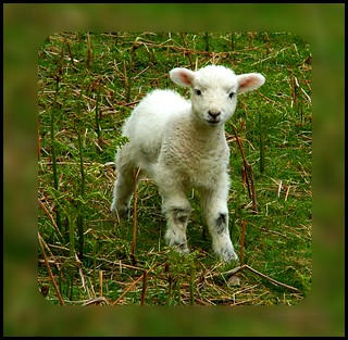 Another cute lamb pic :) | by Ennor