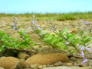 蔓荊Vitex trifolia L  var  simplicifolia Cham | 2006/07/04