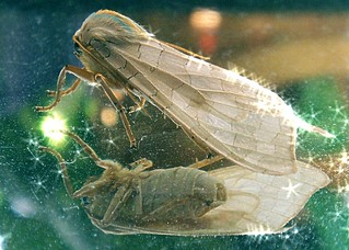 Magic Punk-Rocker Moth | by rcvernors