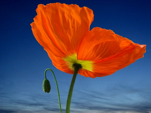Do i look big ? spring flower and colour - Orange Poppy flower (Pavot orange) | by natureloving
