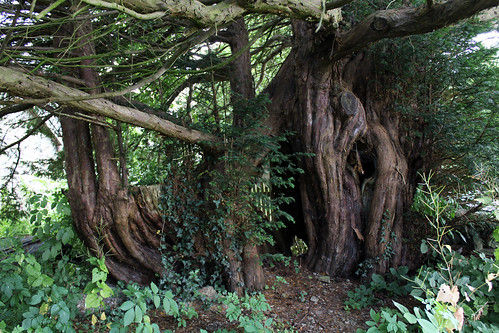 Female yew in the churchyard at Discoed | by pluralzed