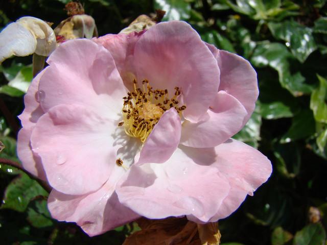 Rosee et Eglantine  - MIMIZAN.