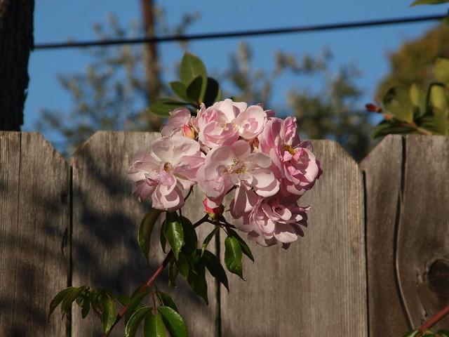 MC157084 Renae rose spray