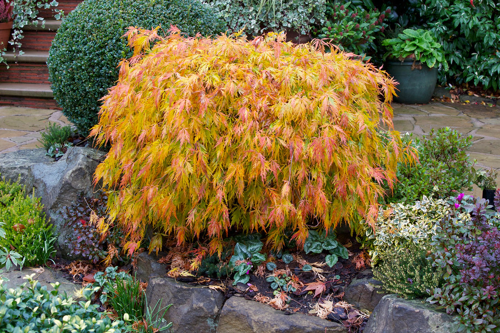 Acer Palmatum Dissectum Viridis In Autumn The Foliage Of Flickr