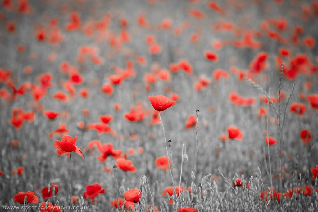 Colour Spot Poppies