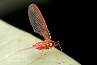 Derbid Planthopper (Derbidae) - DSC_6521