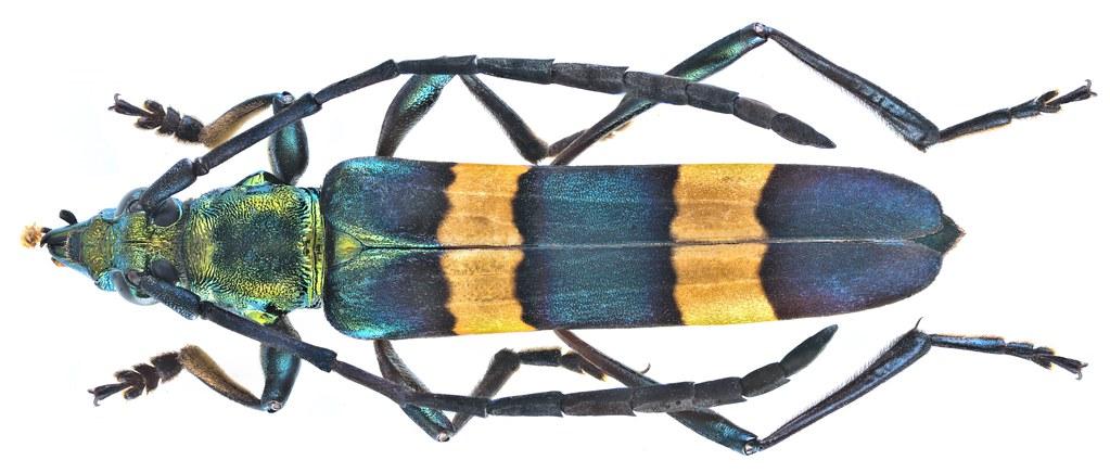 Polyzonus spec 10a