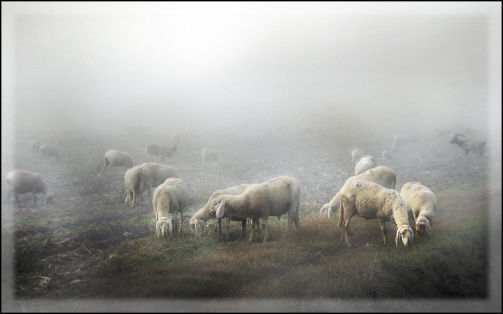 Pecore nella nebbia