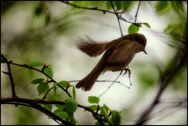 Suddfågel