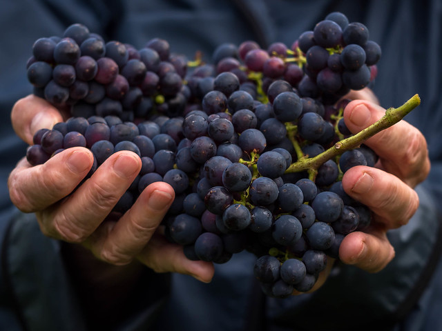 Harvest time in a vineyard