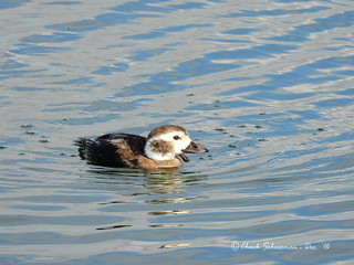 Long-tailed Duck - Clangula hyemalis | by chuck_schussman