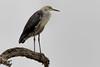 White-necked Heron 2013-08-24 (_MG_1653) by ajhaysom