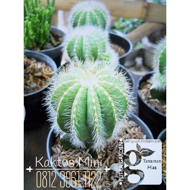 Kaktus Mini Untuk Dekorasi Dan Souvenir Tanamanhias Kakt