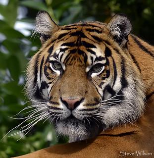 Tiger Face | Sumatran Tiger Photographed at Chester Zoo