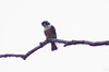 Black-thighed Falconet by 9dr7