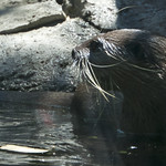 A small-clawed otter
