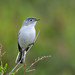 Blue-gray Gnatcatcher (take II) by Jerry Ting