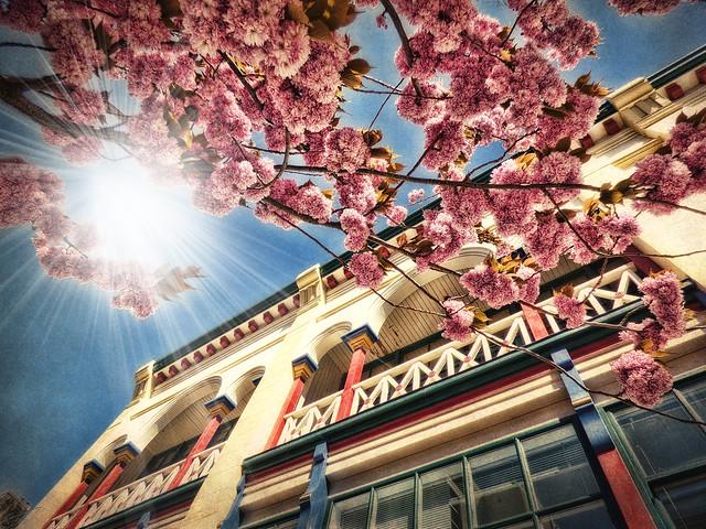 Chinatown and Sakura blossoms