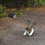 Snowshoe hare on the move