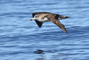 Cory's Shearwater - Calonectris borealis by Roger Wasley