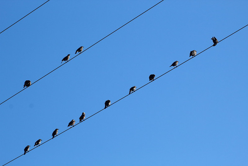 Dawn Chorus Lines