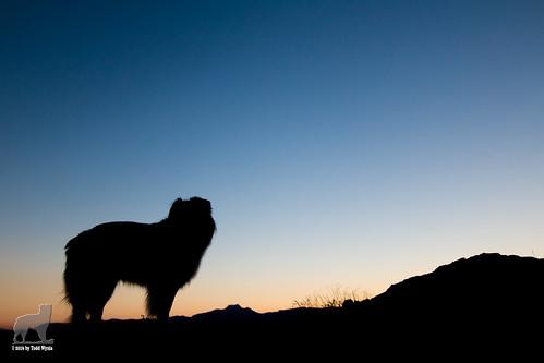 aussie australianshepherd silhouette sunrise