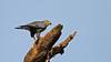 Grey Kestrel - Falco ardosiaceus by jaytee27