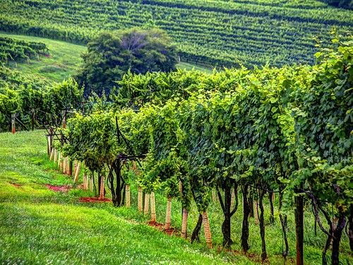 georgia vineyard wine winery grapevines