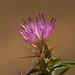 Flickr photo 'Centaurea calcitrapa MJ1807 C001' by: Sarah Gregg Petriccione.