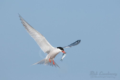 Common Tern with dinner | by Rob Lonsberry Photography