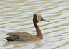 White-faced whistling duck (Dendrocygna viduata) by Riaan4