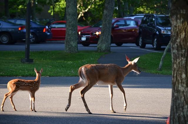 Deer, Skyland, Shenandoah National Park