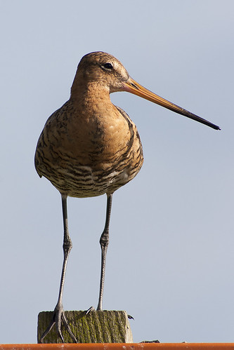 Limosa limosa | by Ouwesok