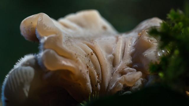 Auricularia mesenterica - Auriculaire mesentérique